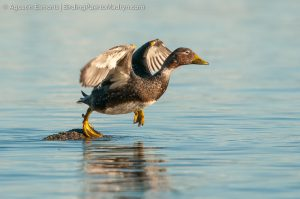 Flying Steamerduck (Tachyeres patachonicus)
